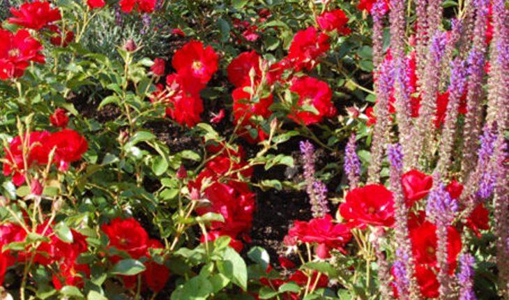 Begleitpflanzen Rosen