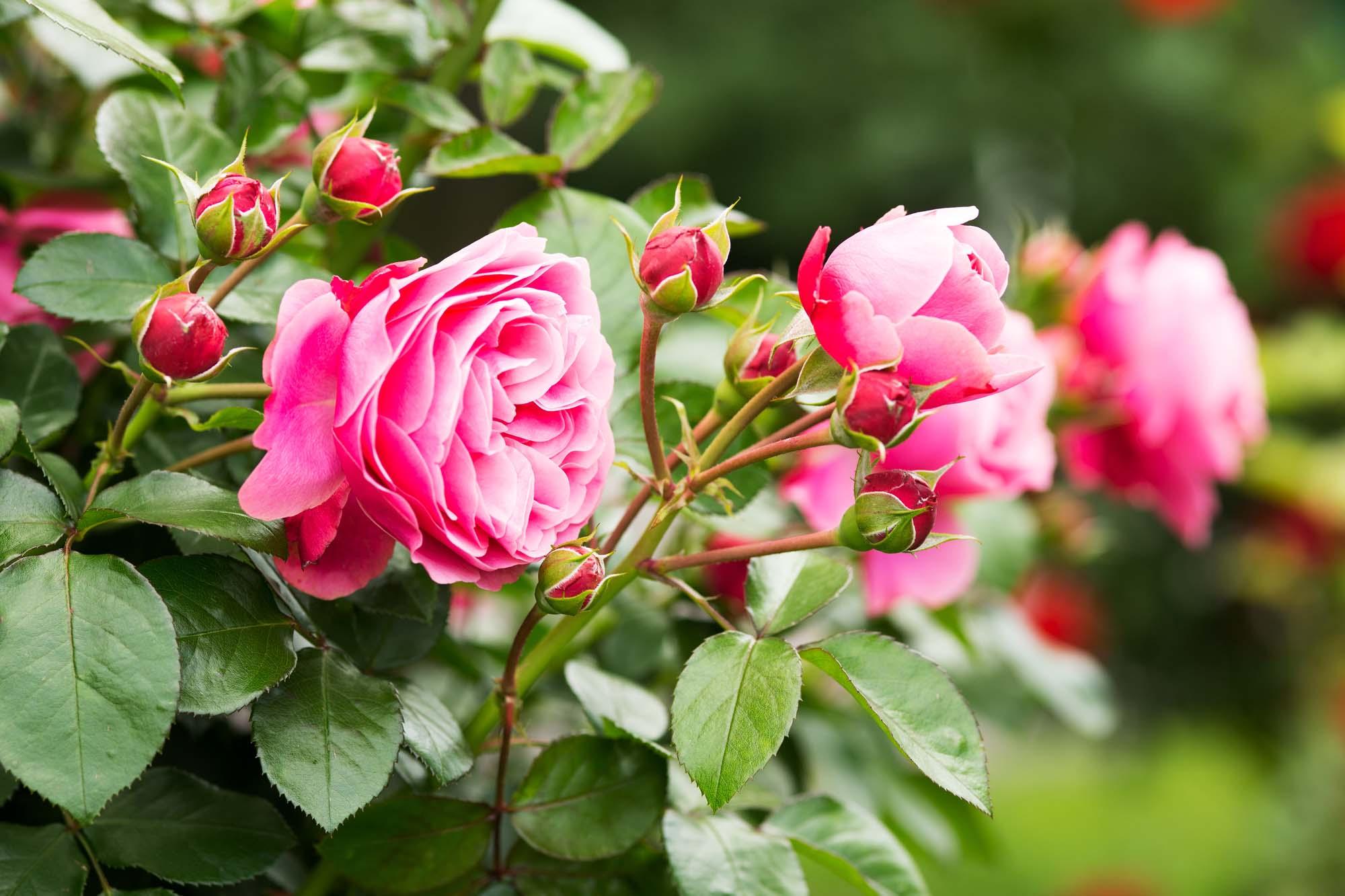 Über 200 Sorten Rosen